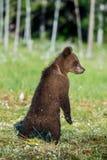 Новичок медведя стоял вверх на своих задних ногах Стоковые Изображения