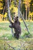 Новичок медведя стоял вверх на своих задних ногах Стоковые Изображения RF