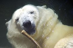 Новичок медведя хищника полярного медведя млекопитающийся арктика Стоковые Изображения RF