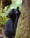 новичок медведя черный Стоковые Изображения