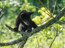 новичок медведя черный Стоковые Фото