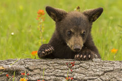 новичок медведя черный стоковая фотография