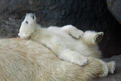 Новичок полярного медведя с его матерью стоковая фотография rf