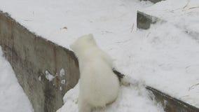 Новичок полярного медведя взбирается вверх в зоопарке сток-видео