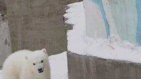 Новичок полярного медведя взбирается вверх в зоопарке видеоматериал