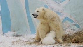 Новичок полярного медведя ест молоко от матери hes в зоопарке сток-видео