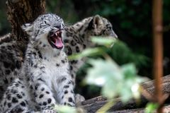 Новичок снежного барса, uncia пантеры стоковые фото