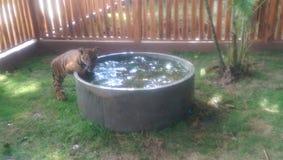 Новичок тигра играя в воде Стоковые Изображения
