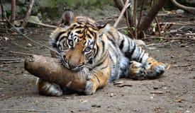 новичок тигра стоковые фотографии rf