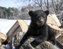 Новичок черного медведя стоковые изображения