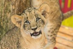 Новичок льва в открытом зоопарке Стоковые Фотографии RF