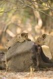 Новичок льва и львица на туше икры африканского слона Стоковое Изображение