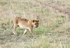 Новичок льва идя в злаковик Стоковые Изображения RF