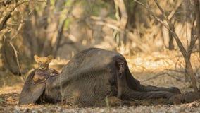 Новичок льва (пантера leo) на туше икры африканского слона Стоковое Фото