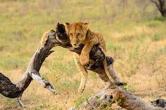 Новичок льва спокойно Стоковые Фото
