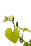 Новое вино sprig с пуком Стоковые Фото