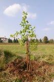 Новое дерево абрикоса стоковые изображения