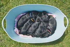 Новорождённые собаки Стоковые Фотографии RF