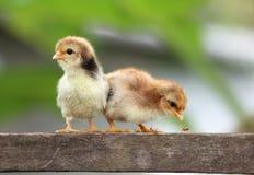 Ново - принесенные цыпленоки Стоковые Фотографии RF