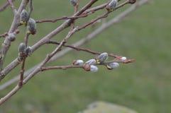 Новые бутоны весны Стоковая Фотография