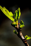 Новые бутон и лист смоквы стоковое фото rf