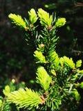 Новые елевые ветви бутоны spruce прогулка весны пущи дня слободская Стоковое Изображение RF