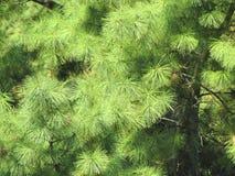 Новые иглы растя от куста в последней весне Стоковое Изображение RF
