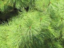 Новые иглы растя от куста в последней весне Стоковые Изображения RF