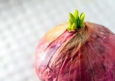 Новые листья бутона красного лука Стоковое Фото