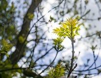 Новые листья золы в солнце Стоковая Фотография RF