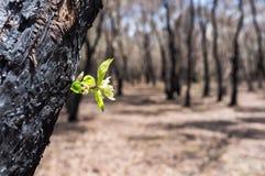 Новые листья, который выросли после леса были ожогом Стоковое Изображение RF