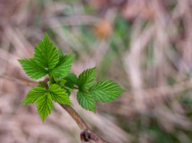 Новые листья поленики Стоковые Изображения
