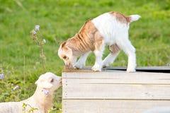 Новые козы ребенк младенца исследуя и играя на деревянной стойке в поле Стоковое Изображение RF