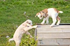Новые козы ребенк младенца исследуя и играя на деревянной стойке в поле Стоковые Изображения RF