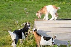Новые козы ребенк младенца исследуя и играя на деревянной стойке в поле Стоковое Фото