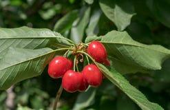 Новые красные вишни на ветви Стоковое Изображение RF