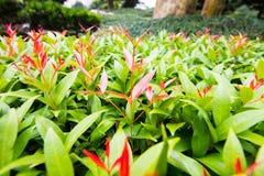 Новые красные листья роста Стоковое фото RF