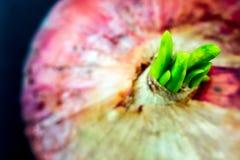 Новые листья бутона красного лука в черной предпосылке Стоковые Изображения RF