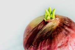 Новые листья бутона красного лука Стоковая Фотография