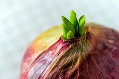 Новые листья бутона красного лука Стоковое фото RF