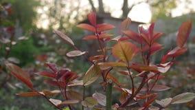 Новые листья куста роз сток-видео