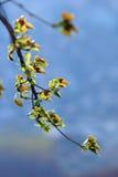 Новые листья тополя Стоковая Фотография
