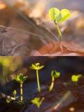 Новые молодые листья клевера Стоковая Фотография RF