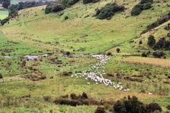 новые овцы zealand Стоковое фото RF