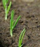 Новые саженцы зеленого лука Стоковое Изображение RF