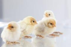Новые цыплята люка стоя на glass.GN Стоковое Изображение RF