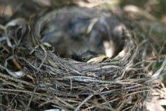 Новый американец Робин Peeking от гнезда Стоковое Изображение RF
