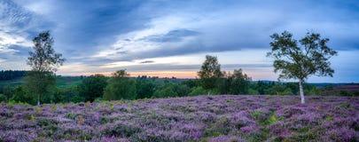 Новый вереск леса Стоковое фото RF