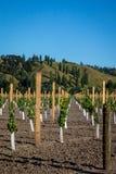 Новый виноградник засаживая на плоской земле фланкированной сельскими холмами залива бедности на Kaitaratahi, на окраинах Gisborn стоковые изображения
