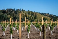 Новый виноградник засаживая на плоской земле фланкированной сельскими холмами залива бедности на Kaitaratahi, на окраинах Gisborn стоковое фото rf